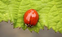 Harmonia axyridis (jon. moore) Tags: colnevalley greaterlondon coleoptera harmoniaaxyridis harlequinladybird coccinellidae