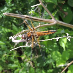 Photo of Immature scarce chaser dragonfly (Libellula fulva), Sandy, Bedfordshire