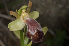 Ophrys basilissa (adrien2008) Tags: ophrys basilissa