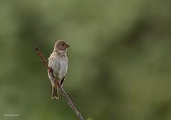 Karmingimpel Weibchen (wernerlohmanns) Tags: sperlingsvögel singvögel wildlife natur outdoor nikond750 d750 karmingimpel gimpel deutschland helgoland