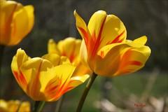 Par les soirs bleus d'été j'irai dans les sentiers (Bouteillerie) Tags: bouteillerie botanique canon éclosion floral flower fleur fleurs garden horticulture jardin jaune yellow languageofflower languageofflowers tulipes tulip printemps spring végétal