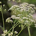 Anthriscus-sylvestris_11