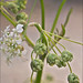 Anthriscus-sylvestris_4