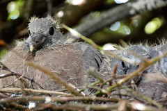 Baby Pigeon (moniquerebanks) Tags: babypigeon pigeon nest nature nikond7100 closeup bird cute duiven lespigeons tauben vogels birds oiseau pajaros uccelli cumbria