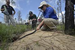 _WID6217 (MyFWCmedia) Tags: snake indigosnakerelease easternindigosnake outside outdoors nature fwc myfwc myfwccom reptile release trees apalachicola bluffs ravines preserve bristol natureconservancyinflorida