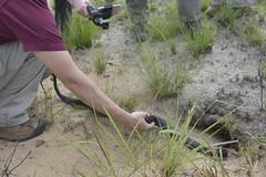 _MED8476 (MyFWCmedia) Tags: snake indigosnakerelease easternindigosnake outside outdoors nature fwc myfwc myfwccom reptile release trees apalachicola bluffs ravines preserve bristol natureconservancyinflorida