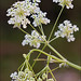 Anthriscus-sylvestris_3