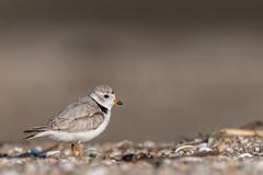 """""""Along Came A Spider"""" (rob.wallace) Tags: jersey shore piping plover breeding season spring 2019 bird beach"""