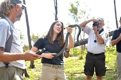 _MED8554 (MyFWCmedia) Tags: snake indigosnakerelease easternindigosnake outside outdoors nature fwc myfwc myfwccom reptile release trees apalachicola bluffs ravines preserve bristol natureconservancyinflorida