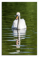Super Elegant Swan. (johnhjic) Tags: johnhjic swan brid reflection water elegant colour yellow white green peaceful