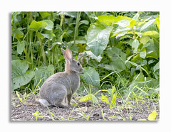 Young Rabbit (johnhjic) Tags: johnhjic north yorkshire leaf leafs colours colour color bunny rabbit fields field spring eye eyes crop young