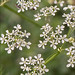 Anthriscus-sylvestris_12