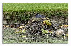 Nesting Coot. (johnhjic) Tags: johnhjic north yorkshire bird coot neast nest nesting water mother stick stone stones green brown blach white big