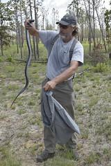 _WID6262 (MyFWCmedia) Tags: snake indigosnakerelease easternindigosnake outside outdoors nature fwc myfwc myfwccom reptile release trees apalachicola bluffs ravines preserve bristol natureconservancyinflorida