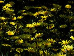 Tilt Summer (Robert Cowlishaw (Mertonian)) Tags: summertilt spring2019 lunchstroll lightdancing shadows yellow deeply 4sophia mertonian robertcowlishaw canonpowershotsx70hs crowding canon powershot sx70hs ineffable awe wonder beauty beautiful dark light sunlit
