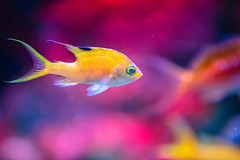 Living in Violent Colors (moaan) Tags: kobe hyogo japan fish tropicalfish tank watertank aquarium akualife sumaaqualifepark color richlycolored violentcolors dof bokeh bokehphotography canoneos5dsr ef7020mmf28lisiiusm utata 2019