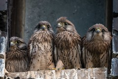 Kestrels (JS_71) Tags: nature wildlife nikon photography outdoor bird new spring see natur pose moment outside animal flickr colour poland sunshine beak feather nikkor d500 wildbirds planet global national wing eye watcher 600mm 17x tc