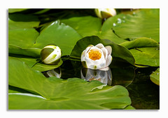 Yellow flower. (johnhjic) Tags: johnhjic north yorkshire spring pf white yellow green color colour pond lily water reflection