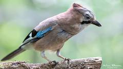 Eurasian jay - Gaai (Wim Boon Fotografie) Tags: wimboon canoneos5dmarkiii canon300mmf4lis vogelhut vogel huizen gaai nederland netherlands natuur nature holland