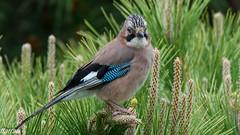 Gaig,  Arrendajo, Eurasian Jay,  (Garrulus glandarius) (Francesc Farran) Tags: pajaros pájaro birdphotography naturephotography ornitologia ocells aves animales animal zoologia catalunya