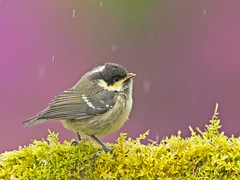 """Coal Tit (coopsphotomad) Tags: """"coal tit"""" tit bird fledgling young chick animal nature avian outdoor colour green feather purple rain moss branch canon bokeh explored explore"""