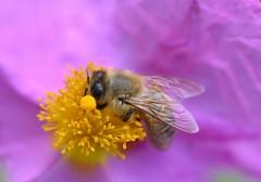 honey bee on Cistus × lenis 'Grayswood Pink' (conall..) Tags: cistus × lenis grayswood pink cistus×lenis grayswoodpink cistuslenis hybridcistus rock rose rockrose