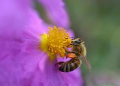 honey bee on Cistus × lenis 'Grayswood Pink' further picture (conall..) Tags: honey bee cistus × lenis grayswood pink cistus×lenis grayswoodpink cistuslenis nikon afs nikkor f18g lens 50mm prime primelens nikonafsnikkorf18g closeup raynox dcr250 macro kew gardens kewgardens botanicgarden southwest london richmond honeybee apis mellifera apismellifera pollination flower pollen load pollenload colour