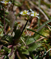 Erophila verna (Common Whitlowgrass) (Hugh Knott) Tags: erophilaverna commonwhitlowgrass flora flowers anglesey wales macro uk brassicaceae macroflowerlovers