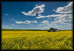 Fields of Gold (cwaynefox) Tags: usa barn washington unitedstates fineart canola openedition flowers yellow landscape gallery scenic palouse