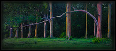Painted Trees of Maui (cwaynefox) Tags: hawaii limitededition maui tree usa unitedstates fineart gallery haleakala landscape pano rainboweucalyptus scenic