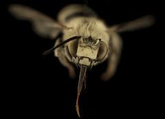 Anthophora urbana, m, face. Yolo Co., CA_2019-03-21-22.37.59 ZS PMax UDR (Sam Droege) Tags: zerenestacker stackshot geologicalsurvey unitedstatesgeologicalsurvey departmentoftheinterior droege biml beeinventoryandmonitoringlaboratory bug bugs canon closeup macro insect patuxentwildliferesearchcenter pwrc usgs dofstacking stacking entomologist canonmpe65 taxonomy:binomial=anthophoraurbana animals animal bee bees apoidea hymenoptera pollinator nativebee entomology macrophotography usinterior california centralvalley clairekremen yolo