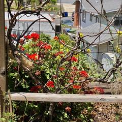 fullsizeoutput_990e (lnewman333) Tags: highlandpark losangeles nela northeastlosangeles socal southerncalifornia ca usa squirrel westerngraysquirrel backyard geranium flowers