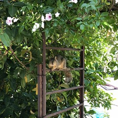 fullsizeoutput_990a (lnewman333) Tags: highlandpark losangeles nela northeastlosangeles socal southerncalifornia ca usa squirrel westerngraysquirrel backyard flowers