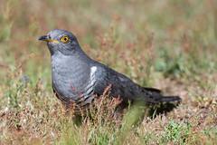 Cuckoo (robin elliott photography) Tags: cuckoo bird birds birding birdwatch nikon