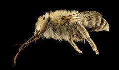 Anthophora urbana, m, right. Yolo Co., CA_2019-03-21-22.16.41 ZS PMax UDR (Sam Droege) Tags: zerenestacker stackshot geologicalsurvey unitedstatesgeologicalsurvey departmentoftheinterior droege biml beeinventoryandmonitoringlaboratory bug bugs canon closeup macro insect patuxentwildliferesearchcenter pwrc usgs dofstacking stacking entomologist canonmpe65 taxonomy:binomial=anthophoraurbana animals animal bee bees apoidea hymenoptera pollinator nativebee entomology macrophotography usinterior california centralvalley clairekremen yolo