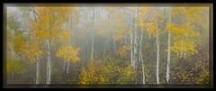 Foggy Aspens (cwaynefox) Tags: aspen aspens aspensfall blackcanyon fog landscape scenic yellow