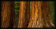 130516_MariposaGrove-003739-Edit_PD (cwaynefox) Tags: openedition usa unitedstates yosemitenationalpark california gallery giantsequoia mariposagrove yosemite