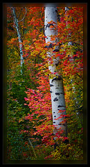 Aspen's and Maple (cwaynefox) Tags: aspens fall limitededition maples tree usa unitedstates fineart gallery landscape pano red scenic utah wasatch