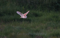 Barn owl , Tyto alba (16) (Geckoo76) Tags: barnowl tytoalba owl