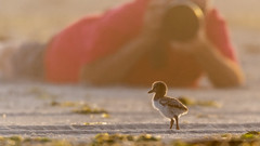 Here's what we do (Kevin E Fox) Tags: oystercather chick fog sunrise lidobeach nickersonbeach beach sand pov nassaucounty newyork ny bird birdwatching birding birds birdphotography sigma150600sport sigma shorebird shorebirds nature nikond500 nikon
