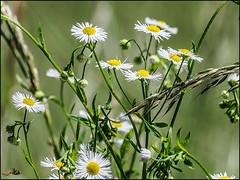 _6080005-B_fl - finden (gemischtersatz) Tags: rabenstein mostviertel niederösterreich loweraustria österreich austria at mirrorless mft olympus mzuiko olympusem10iii mzuiko40150mmf28pro insekt