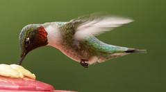 ruby throated hummingbird (watts photos1) Tags: hummingbird bird birds ruby throated rubythroated red wings hum hummer nature wild life wildlife wing small hummingbirds