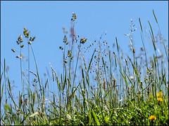 _6080021-B_fl - grashimmel (gemischtersatz) Tags: warth mostviertel niederösterreich loweraustria österreich austria at mirrorless mft olympus mzuiko olympusem10iii mzuiko40150mmf28pro wiese himmel