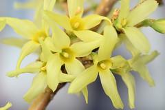 protandrous flowers, forsythia (ophis) Tags: lamiales oleaceae forsythia forsythiaxintermedia protandrous