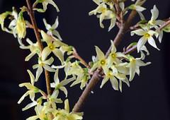 forsythia (ophis) Tags: lamiales oleaceae forsythia forsythiaxintermedia