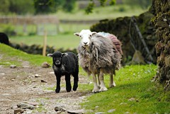 Hello! (Squatbetty) Tags: grasmere easedale lancrigg sheep lamb cuties aww nikond3000 lakedistrict cumbria