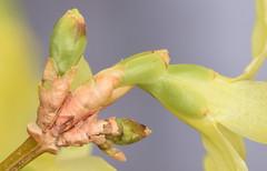 papery pink orange bud scales, forsythia (ophis) Tags: lamiales oleaceae forsythia forsythiaxintermedia