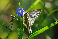 Photo of Green Veined White Butterfly