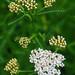 Achillea millefolium 01