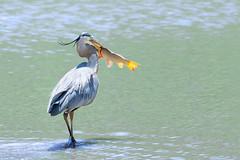Heron Fishing 03 (judymtomlinson) Tags: bird greatblueheron birdphotographer birdphotography birdwatching nikond7200 ontariobirds talbotvillagepond wildlife pond wildlifephotographer spring wildlifephotography